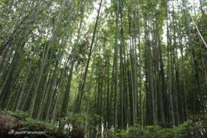 foresta di bambu arashijama kyoto giappone