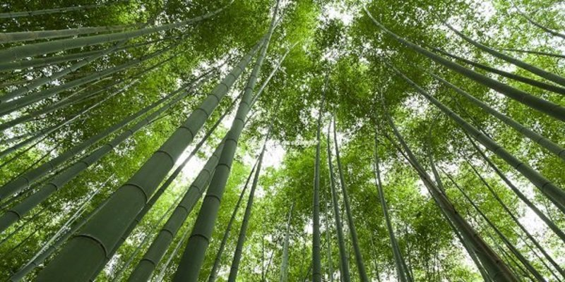 foresta di bambù kyoto foresta di bambu giappone arashijama