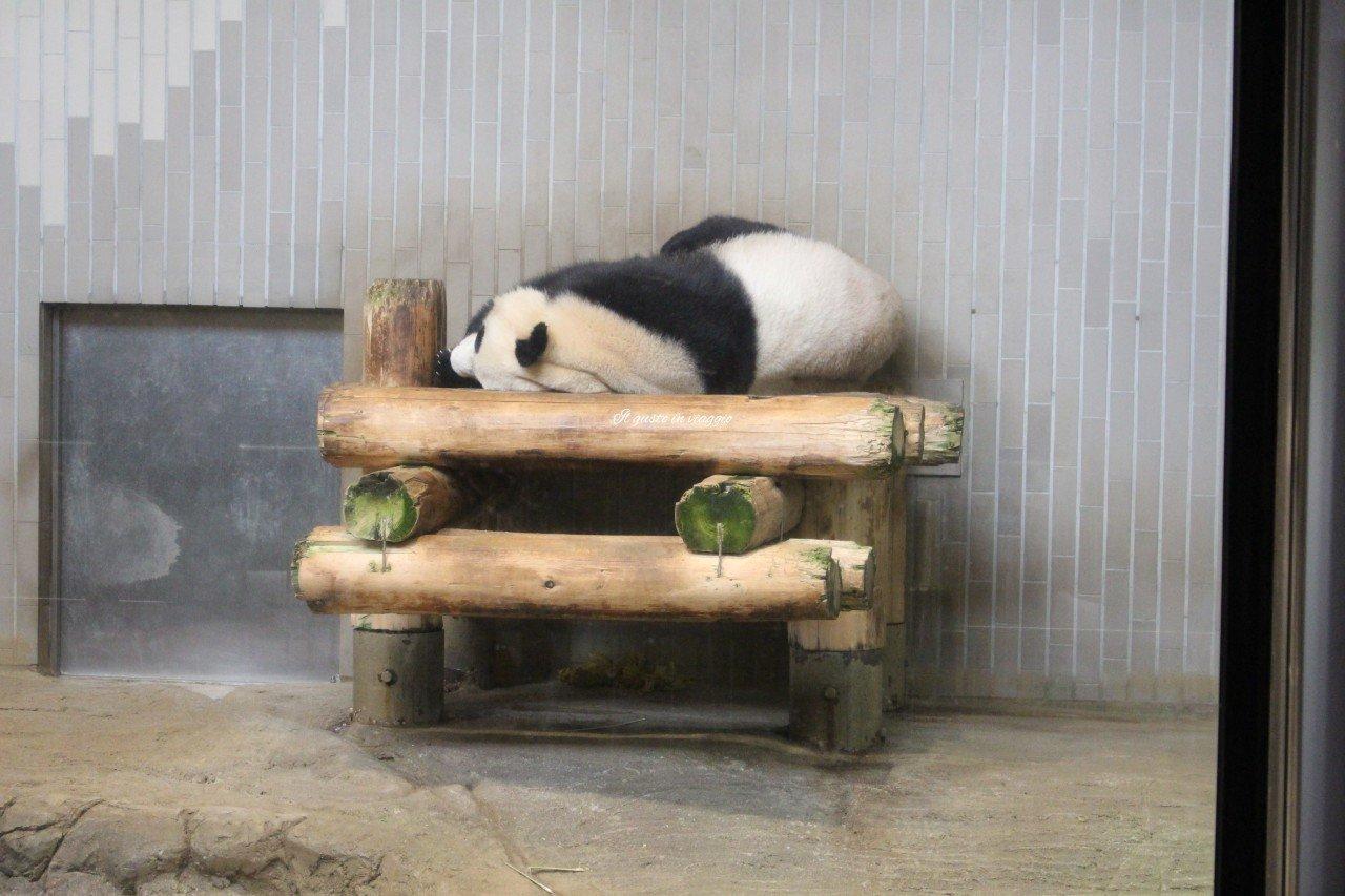 shin shin li li giant panda ueno zoo tokyo