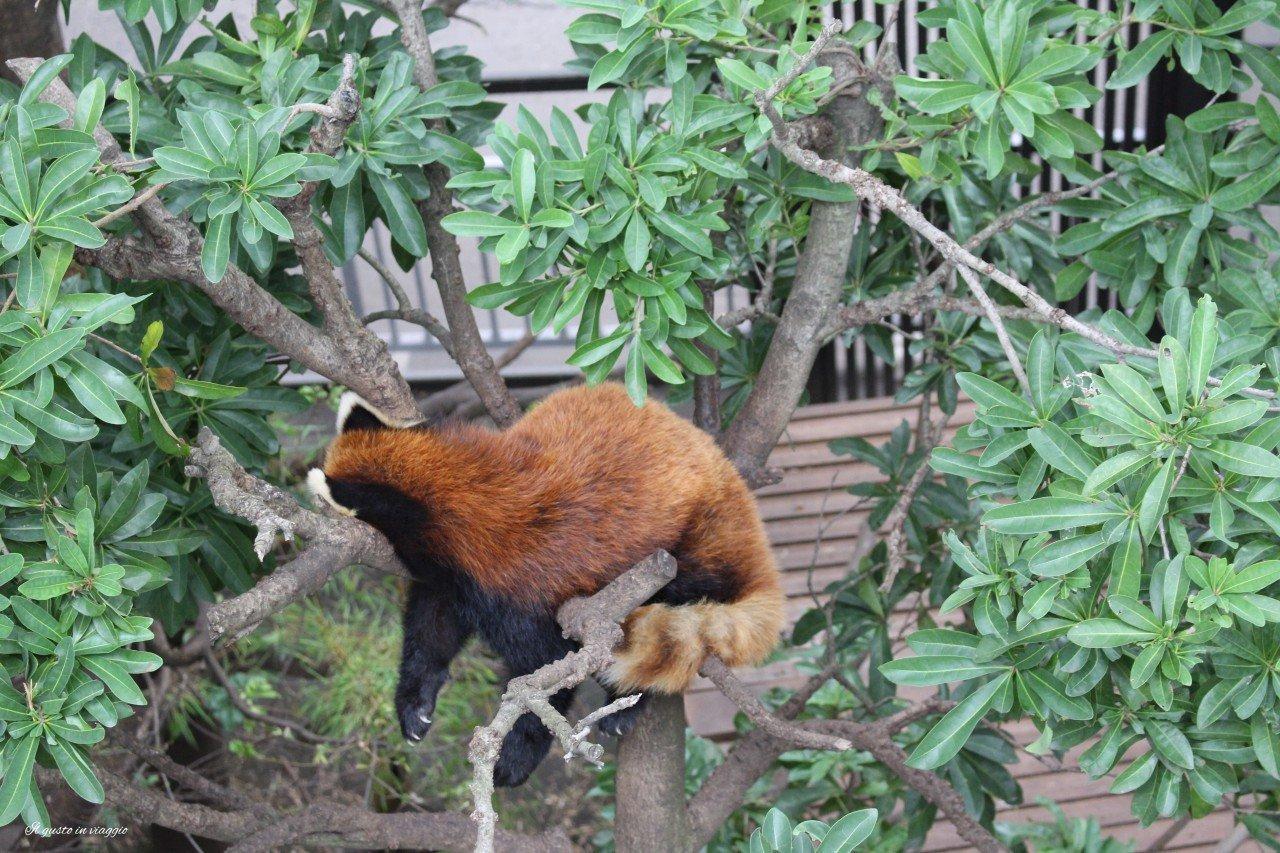 panda rosso red panda giant panda ueno zoo tokyo