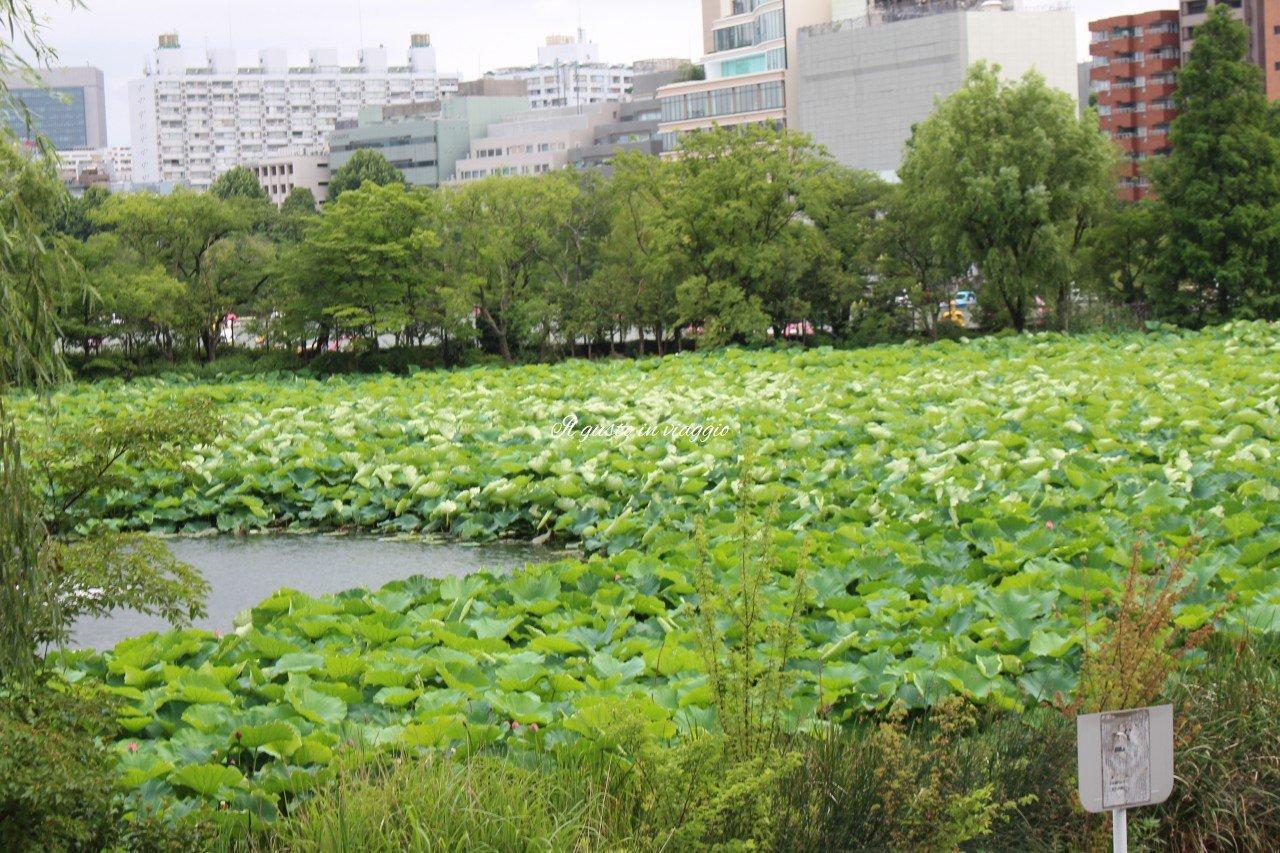 fiore di loto ninfee ueno zoo tokyo