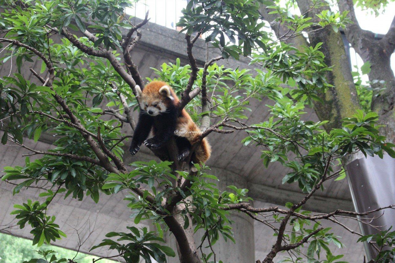 panda minore panda rosso red panda ueno zoo tokyo