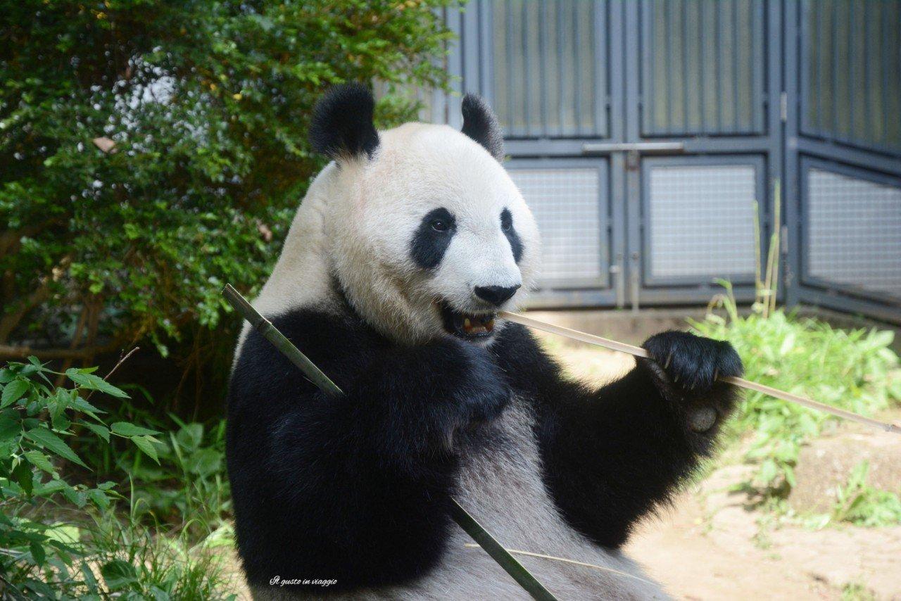 shin shin giant panda ueno zoo tokyo japan