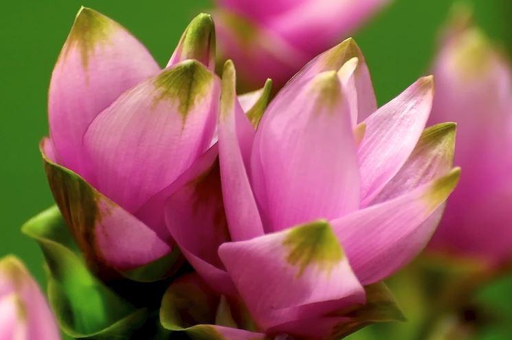 fiori curcuma, crema di zucca e curcuma