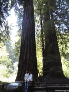 sequoie del muir woods, muir wood national park