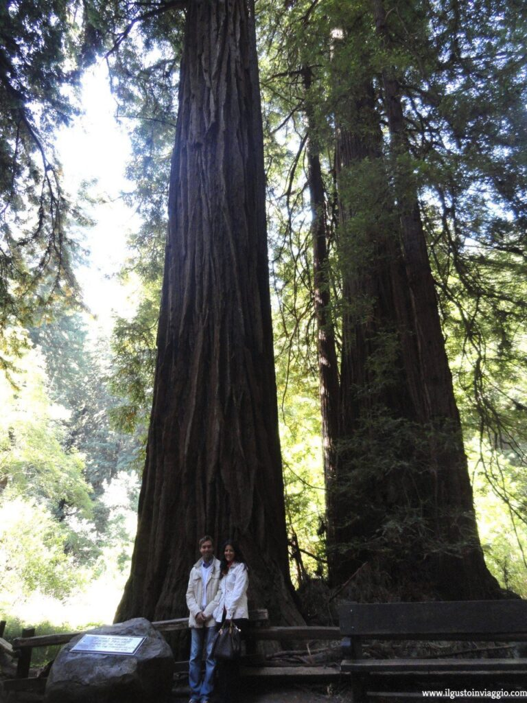 sequoie del muir woods, muir wood national park