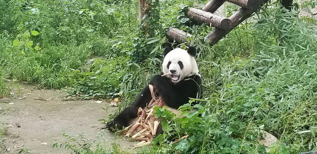 Beijing_Zoo_panda, zoo di pechino con i bambini